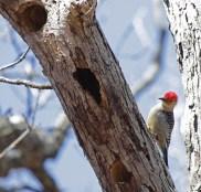 Red-bellied woodpecker 4 © 2016 Karen A. Johnson
