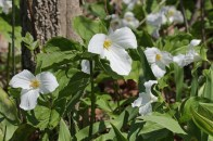 Giant white trillium © 2016 Karen A. Johnson