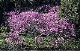 Redbud trees © 2016 Karen A. Johnson