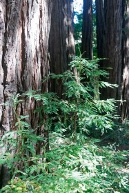 Baby redwood © 2016 Karen A. Johnson