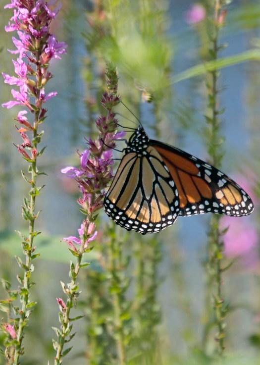 Monarch and bee © 2016 Karen A. Johnson