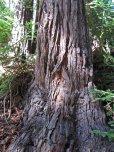 Redwood bark © 2016 Karen A. Johnson