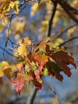 Maple leaves © 2016 Karen A. Johnson