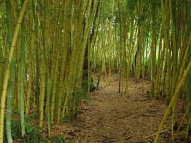 Bamboo forest © 2017 Karen A Johnson