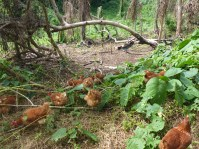 Chickens out foraging