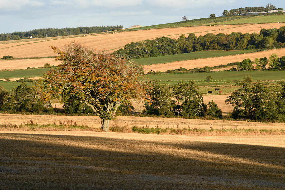 Black Isle photography - beech tree between two barley fields, with shadows in the foreground, and green fields beyond