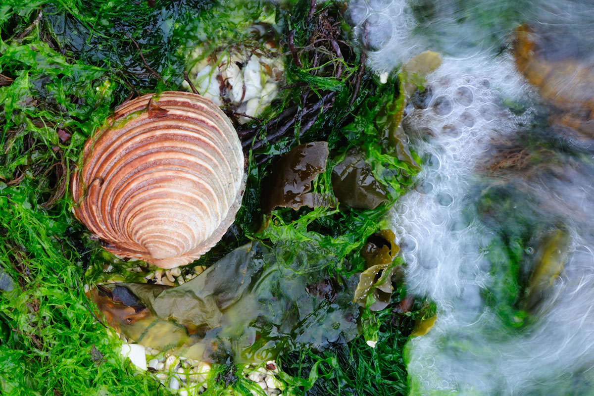 Brown coloured clam shell lying on white coral and green seaweed, with water flowing towards it