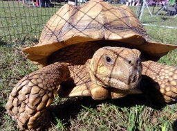 African tortoises, now 21 years old.