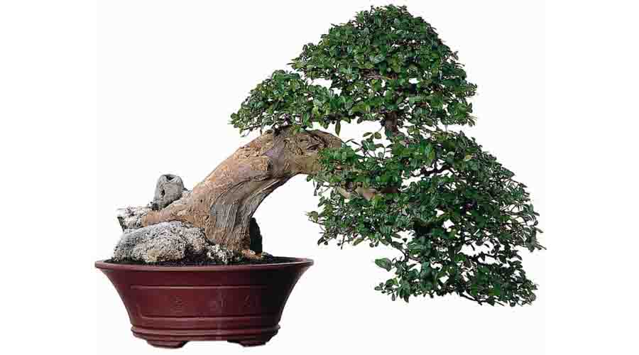 bonsai serut