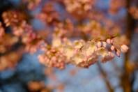 Blossoms at Dawn