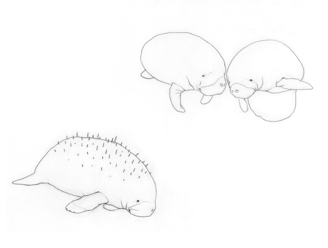 Manatee drawing - Karina Kalvaitis - all rights reserved