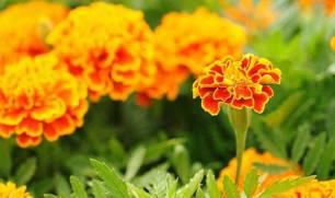 almaghribtoday-marigold