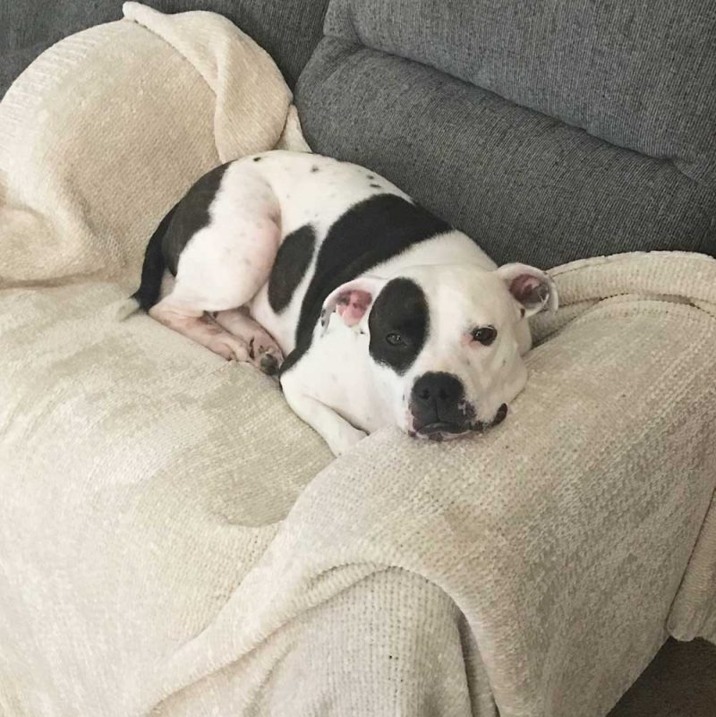 An adorable pit bull laying on a couch - mainly white with brindle spots.
