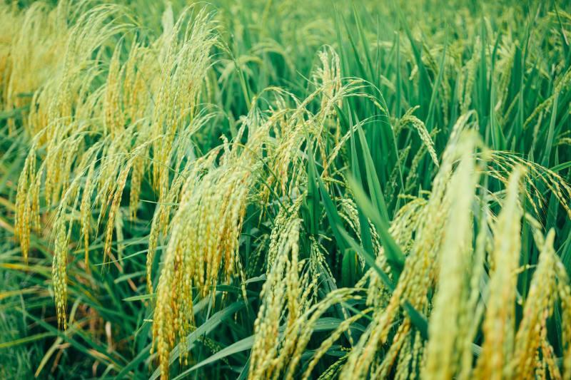 もち米玄米を探して