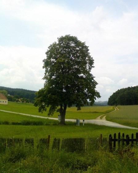 (c) Karl Baumann 2010: Baum an der Kreuzung, Untertautendorferamt im Juni, Sony Ericsson P1i