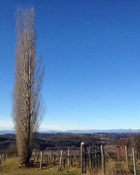 (c) Karl Baumann 2012: Zypresse im Weinberg, Januar 2012 in Straden mit iPhone 4S