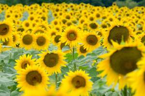 Multiple Sunflowers in a field with One Central