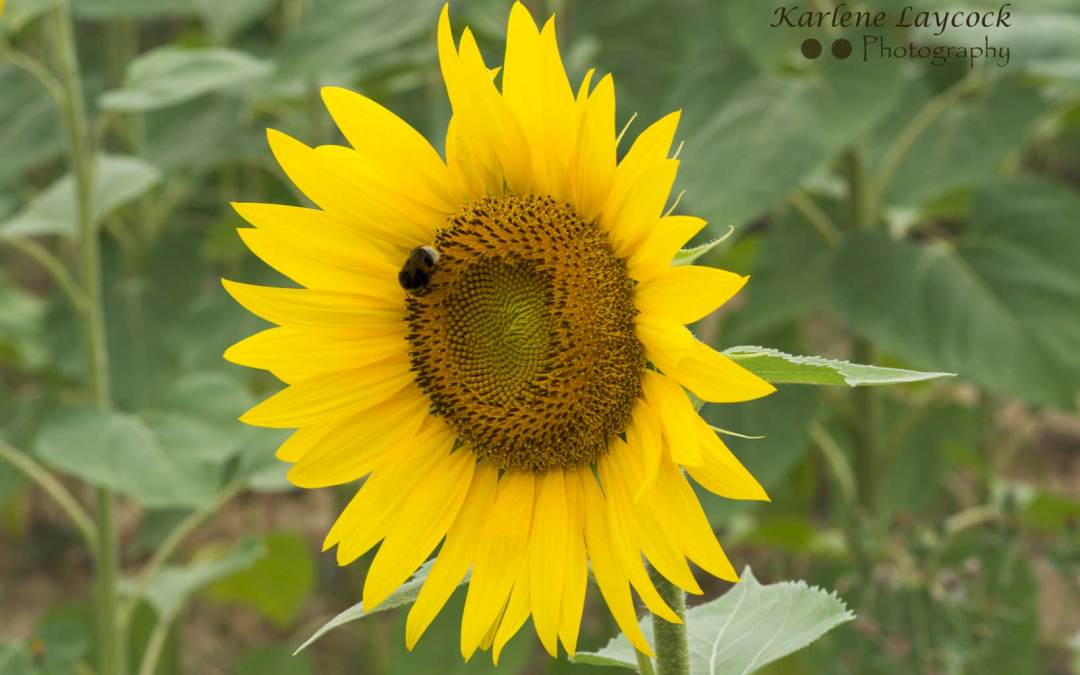 Photograph of a Bee on a Sunflower Captured in Eymet, France