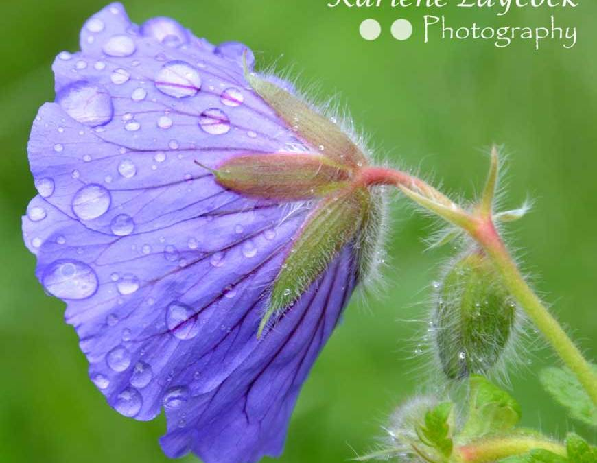 After the Rain – Photograph of Purple Garden Flower after a Spring Shower