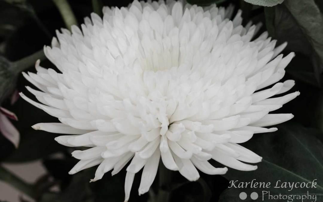 Closeup of Multliple White Petals
