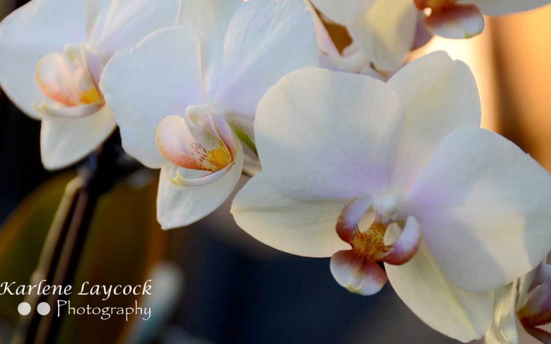 Photograph of Three White Orchids