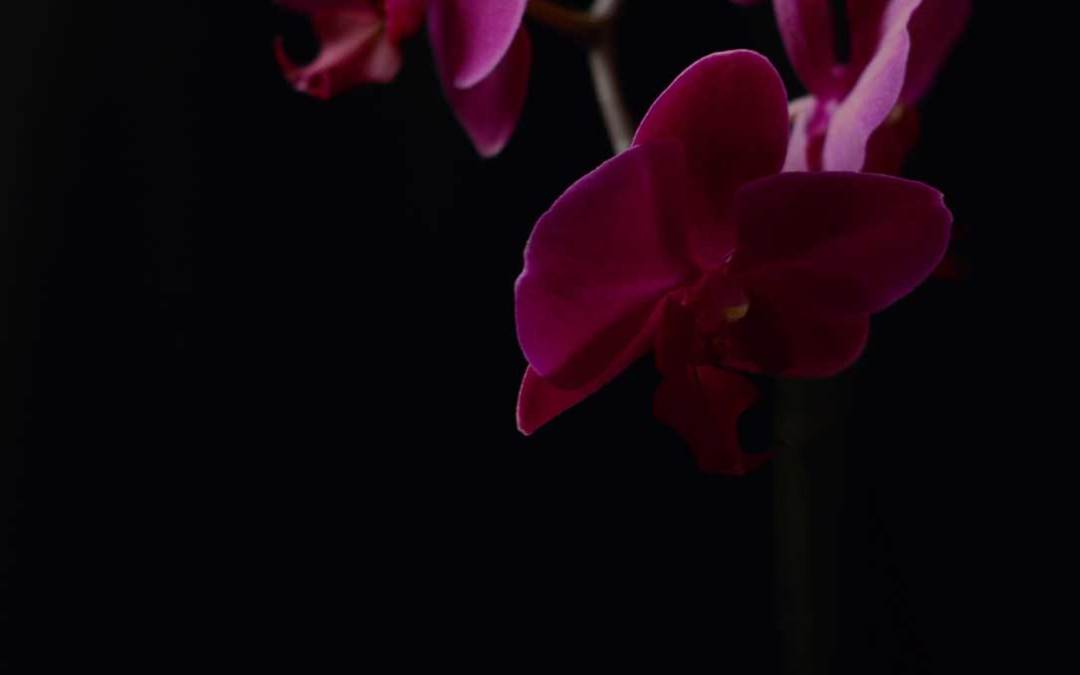 Purple Orchids against a Black Background