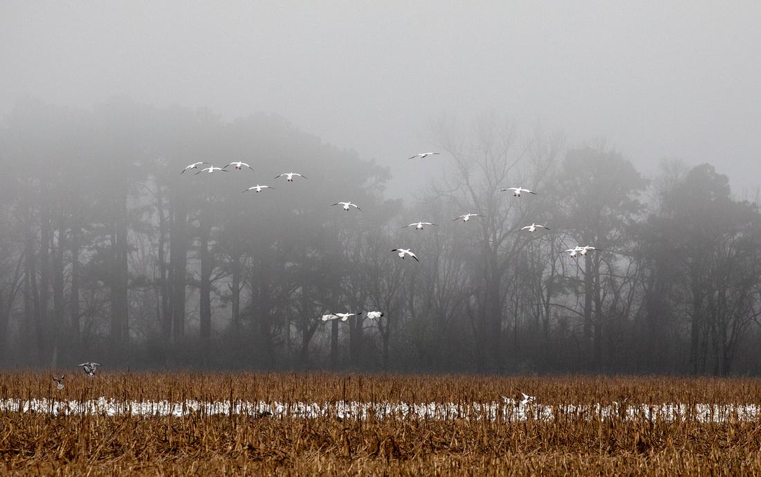 349365 Snow Geese At Pungo Lake