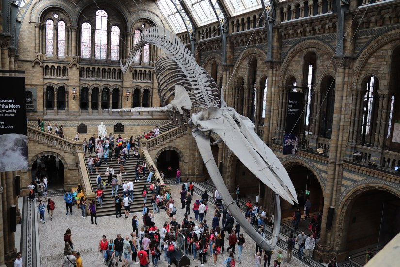 Hope, the blue whale skeleton inside the Natural History Museum, London