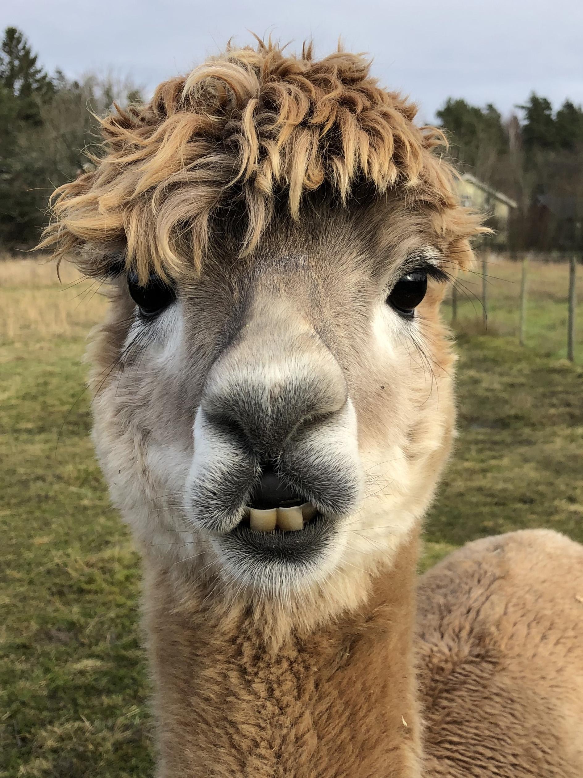 En huvudbild på en alpacka som tittar med vänliga ögon in i kameran
