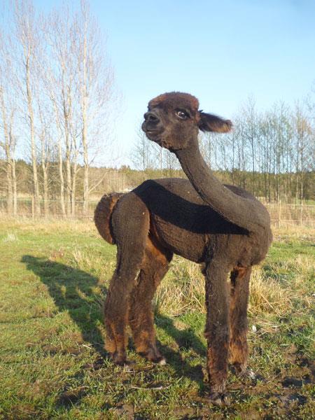 En svart kortklippt alpacka böjer på halsen på ett roligt sätt