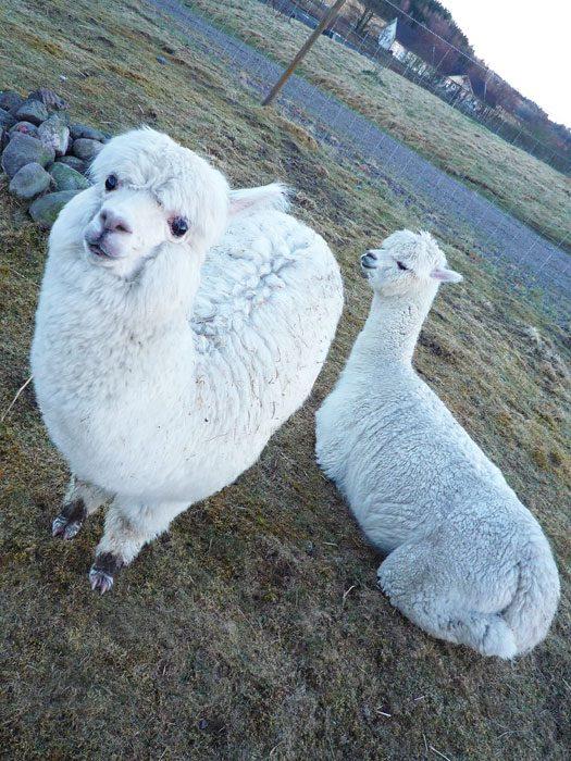 Vit alpacka med tjock fluffig ull står framför en vit alpacka som ligger på marken