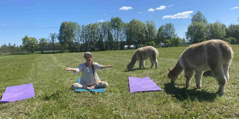 Yoga med alpackor
