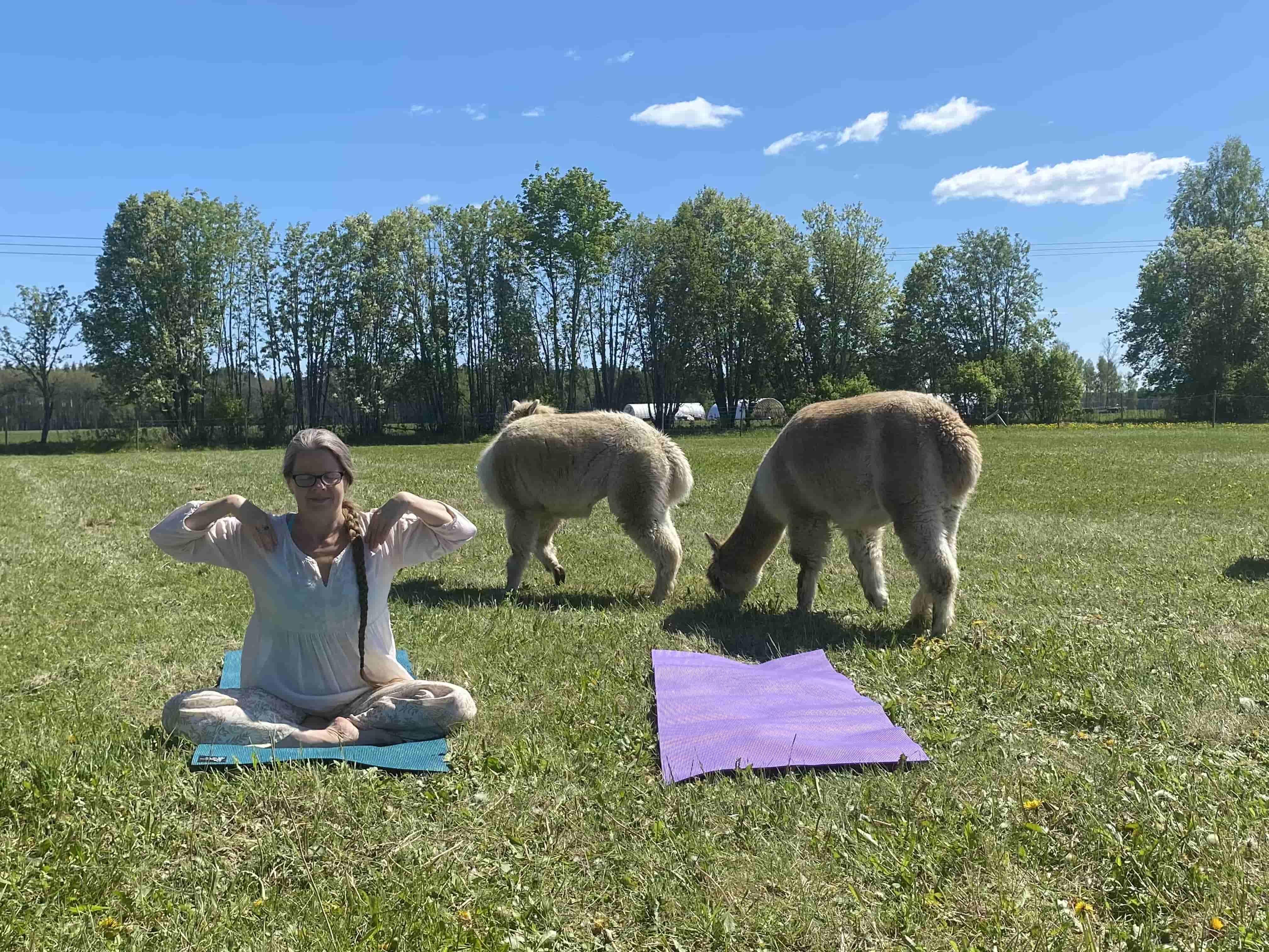 Yoga med alpackor i hagen