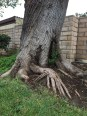 A tree that lends a hand. NW corner of Kittridge and Wilbur, Reseda.