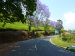 Beautiful ride through tea country.... these trees were blooming all along the road.