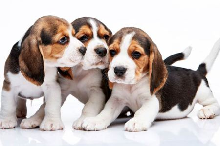 http://akc.org/wp-content/uploads/2015/10/Beagle-Puppies.jpg