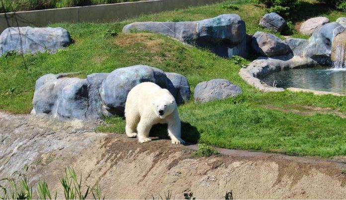White bear in Toronto zoo