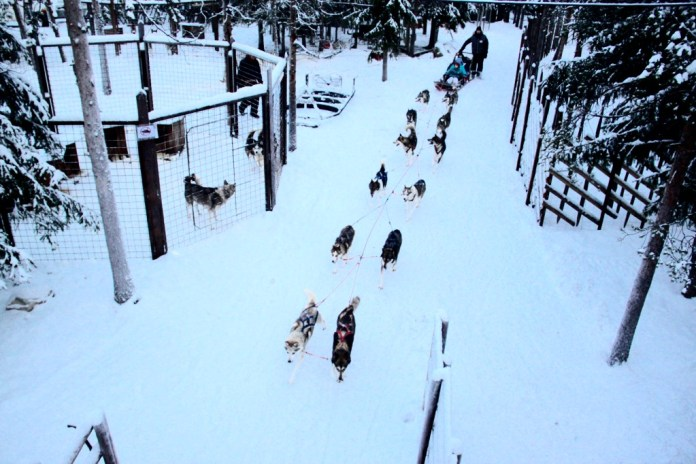 Husky dog sleigh ride in Rovaniemi