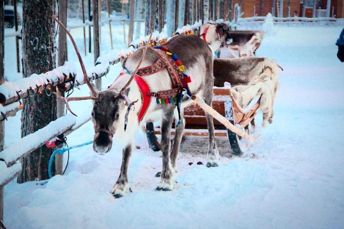 Reindeer sleigh in Rovaniemi