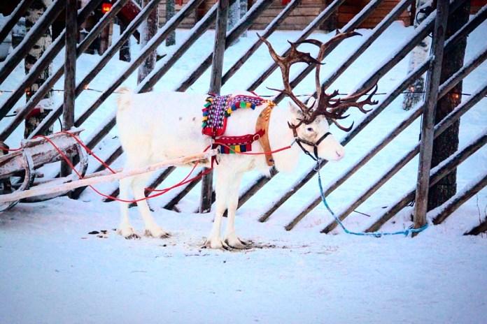 White reindeer at Rovaniemi Santa Claus Village