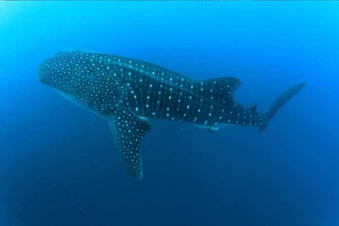 WhaleShark from Bianca