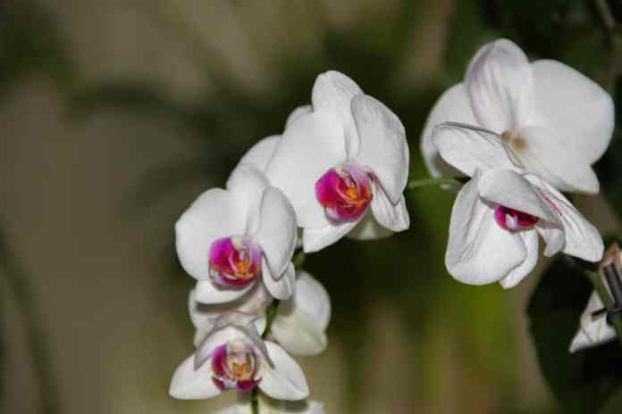 Orchid Thailand interesting facts