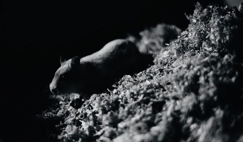 Hamster Schwarzweiß Fotografie Photography