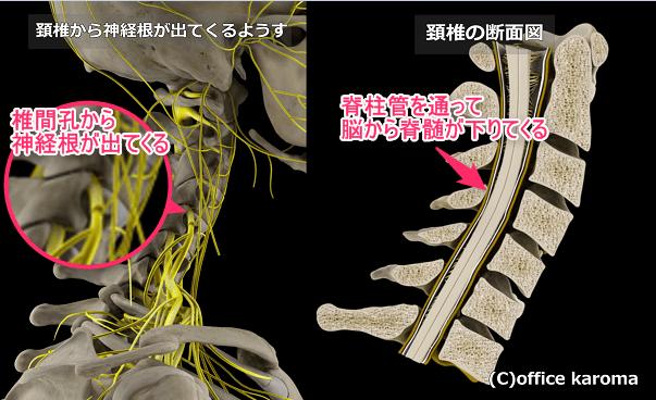 椎間孔と脊柱管