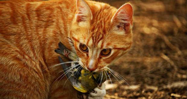 Miért hozza haza a döglött egeret a macska?
