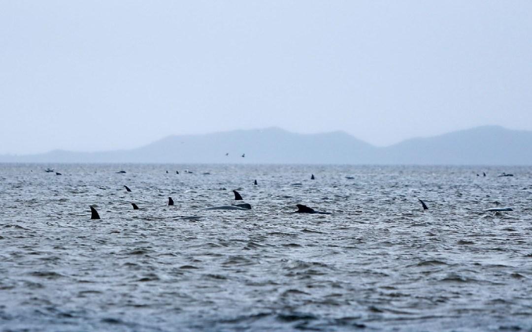 Több mint száz partra sodort delfint sikerült megmenteni