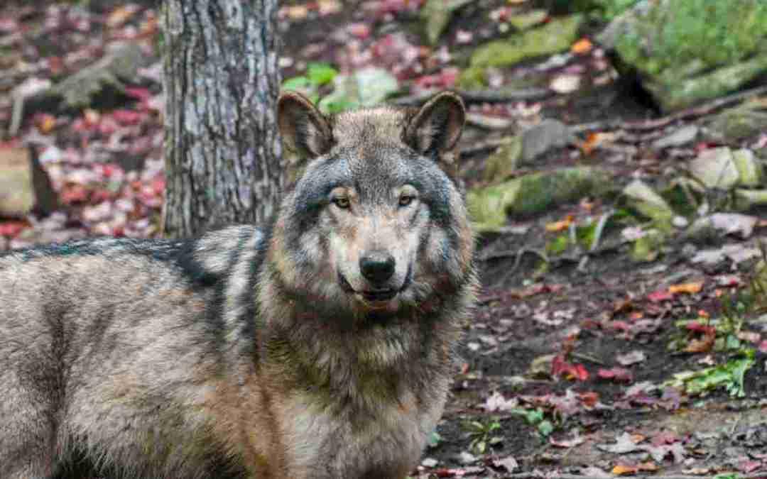 Farkastámadások Szinevéren
