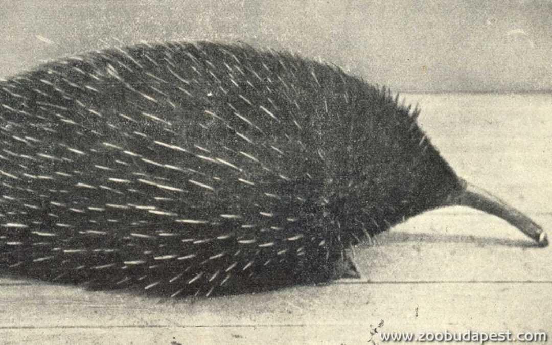 Európában az elsők között Budapesten lehetett megtekinteni a hangyászsünt