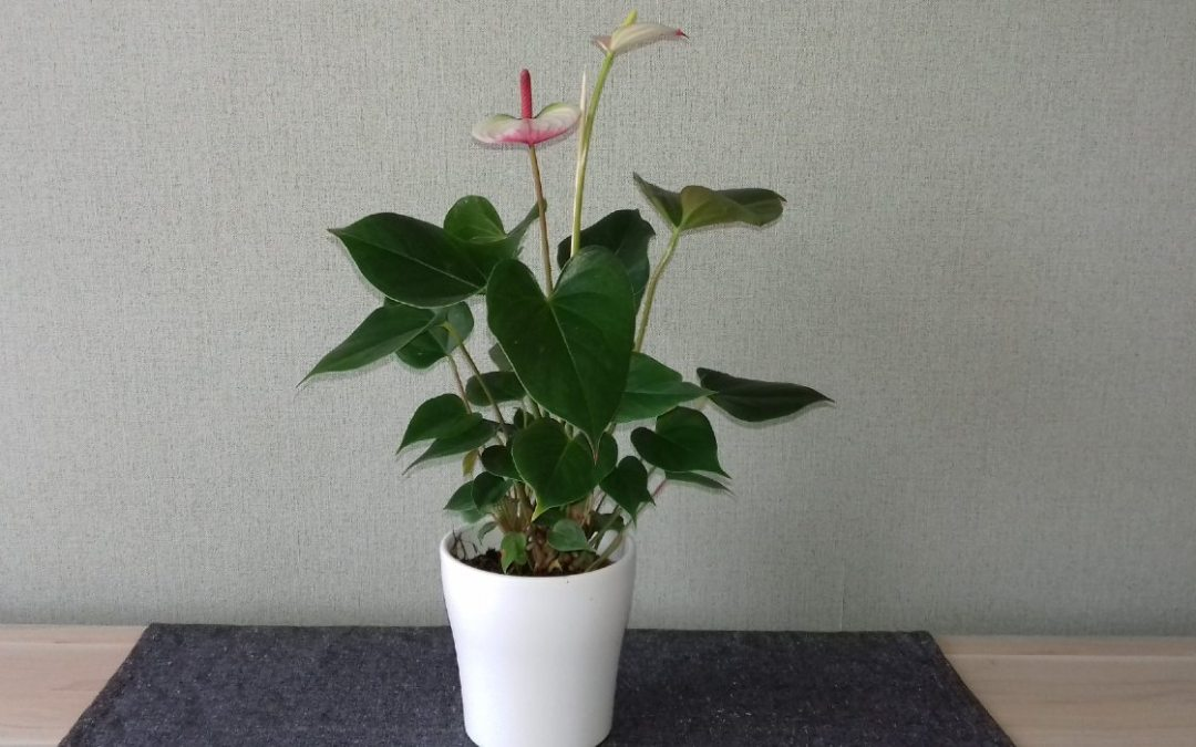 Növények a lakásban: flamingóvirág