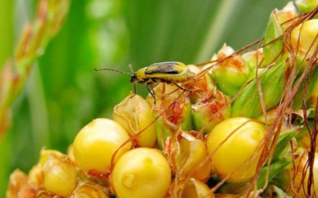 Nagy fenyegetést jelent az amerikai kukoricabogár Kárpátalján